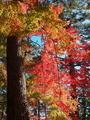 松の木に紅葉@京都御苑