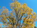 むくの大樹@京都御苑