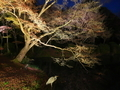 夜のアオサギ@京都府立植物園