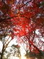 夕日に照らされる紅葉@京都御苑