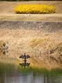 カワウのいる賀茂川風景