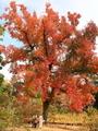 色付くフウの大樹@京都府立植物園