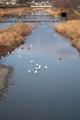 高野川の白鷺