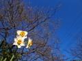 青空に咲く水仙
