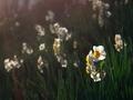 疎水沿いに咲く水仙