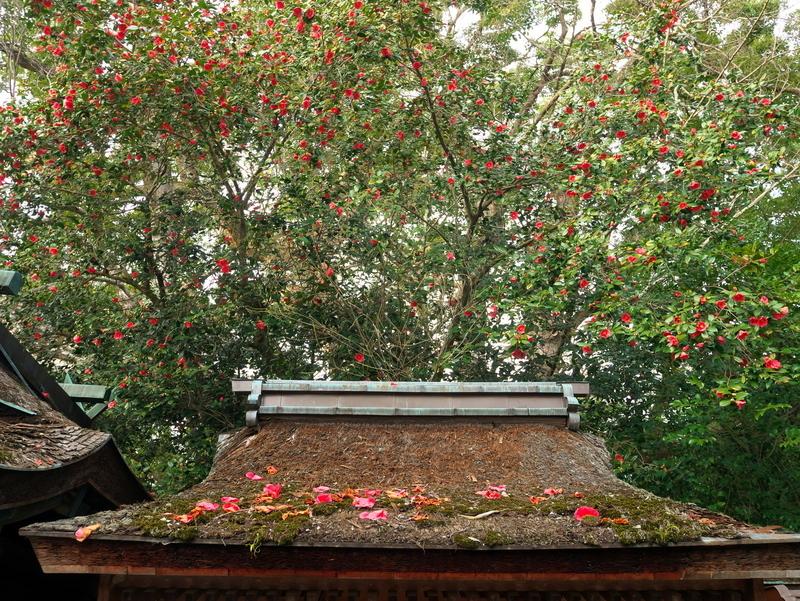 宗像神社の大椿