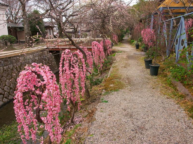 哲学の道に咲く枝垂れ梅