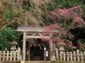 大豊神社の枝垂れ梅