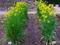左ミズナ、右スグキ@京都府立植物園