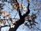 京都御苑近衛邸山桜