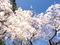 京都御苑近衛邸糸桜
