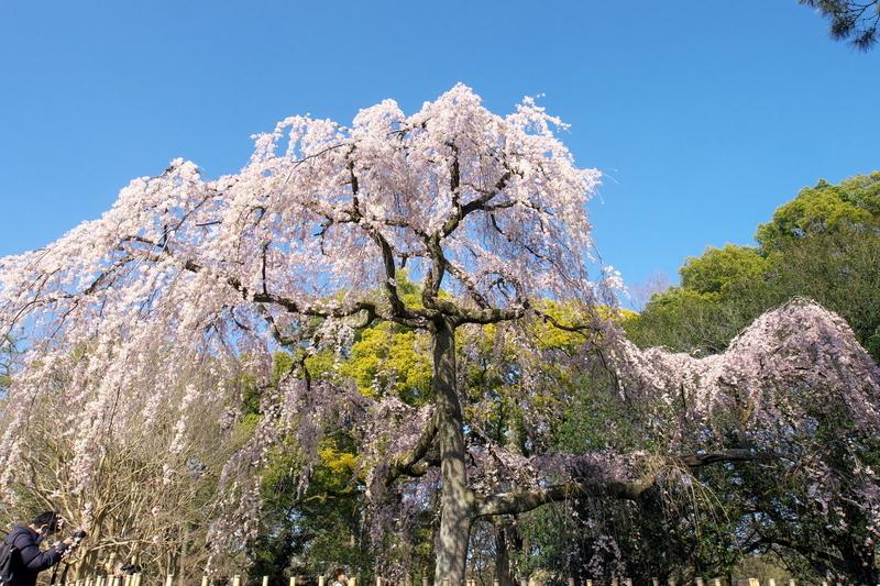 京都御苑出水の枝垂れ桜