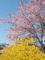 レンギョウに桜@京都府立植物園