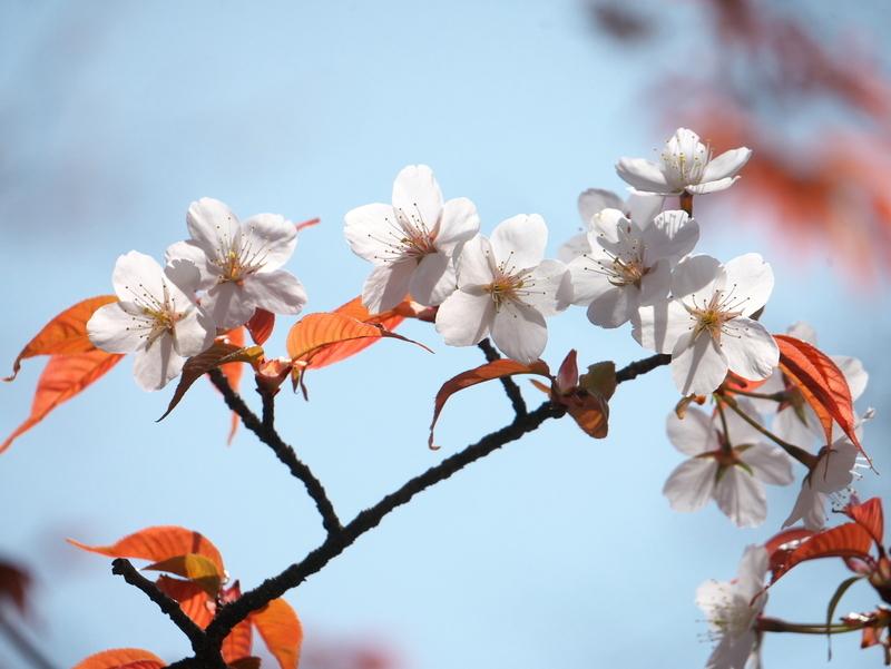山桜@京都府立植物園