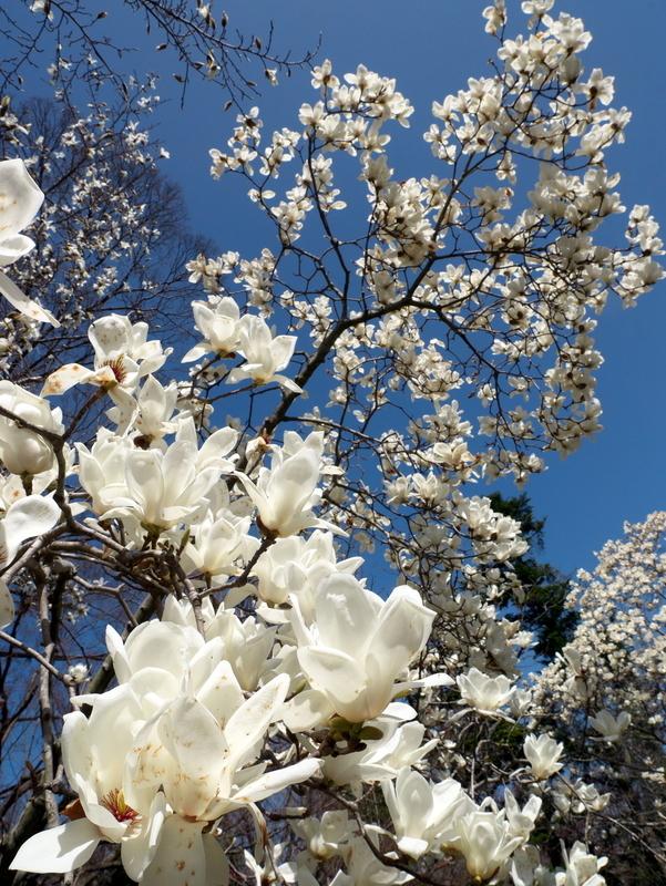 ハクモクレン@京都府立植物園