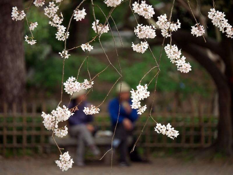 桜の元の憩い@京都御苑