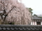 本満寺枝垂れ桜