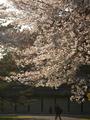 京都御苑山桜