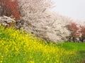菜の花と桜@桂川