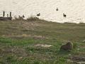 桂川のヌートリア