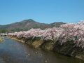 高野川の桜と比叡山