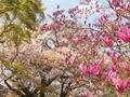 モクレンと山桜@鷺森神社