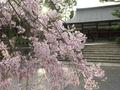 宗忠神社の桜