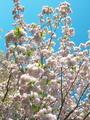 桜(一葉)@京都府立植物園