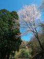 山道の桜@比叡山系