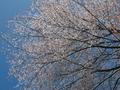 山桜-比叡山系