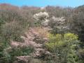 桜咲く山の斜面@比叡山系