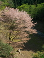 谷に咲く山桜@比叡山系