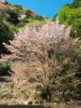 満開の山桜@比叡山系