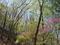 ツツジ咲く愛宕山