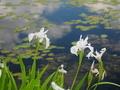 深泥池のカキツバタ