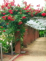 バラの回廊@京都府立植物園