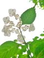 紫陽花を下から@京都府立植物園
