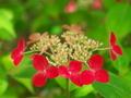 赤いガクアジサイ@京都府立植物園