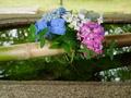 真如堂の紫陽花