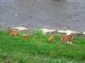 高野川の鹿