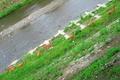 高野川の7匹の鹿