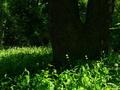 大樹の影(ヤブミョウガ咲く京都御苑)