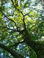 もみじの巨樹@京都御苑