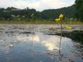 深泥池のタヌキモ