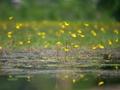 タヌキモ咲く深泥池