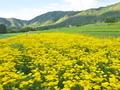 越畑の女郎花
