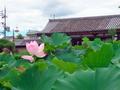東寺の蓮、背景は東寺慶賀門と京都タワー