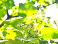 クサギの花@京都府立植物園