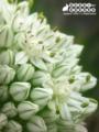 [花][植物][自然][ネギ]小さな花の集合体