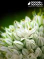 [花][植物][自然][ネギ]一足先に